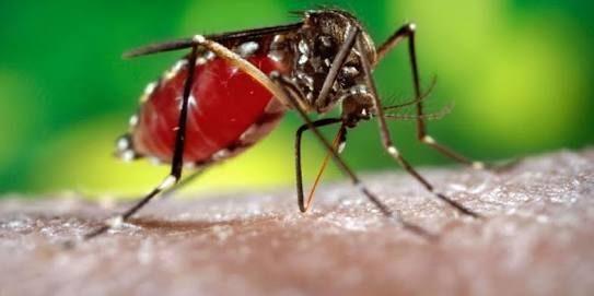 Mosquito Aedes aegypti. Foto: Tomada de internet.