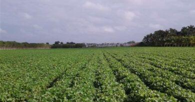 Entidades agrícolas de Batabanó aumentan el empleo de tabaquina. Darlenis Hernández Castillo