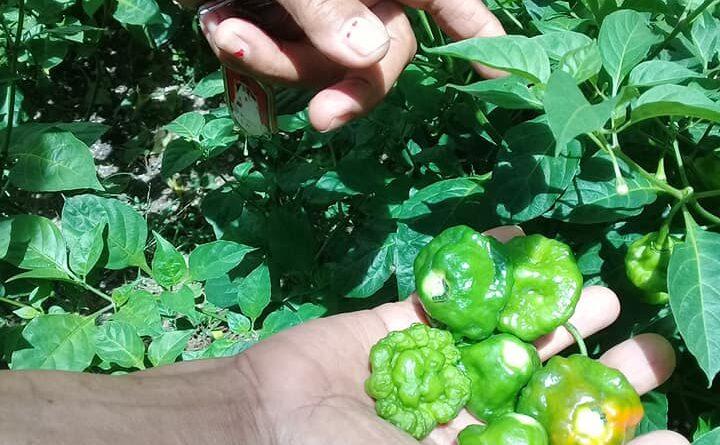 #Jaruco potencia el cultivo de hortalizas en patios y parcelas. Foto Marlene Caboverde