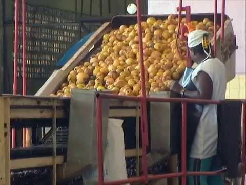 El proceso industrial concentrará sus objetivos en la elaboración de pulpa y mermelada de mango. Foto: Youtube