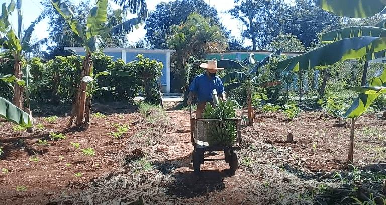 El campesino Adelmo Silva hoy es feliz al ver los frutos de su trabajo en un pedacito de tierra jaruqueña. Foto : Yordan Díaz