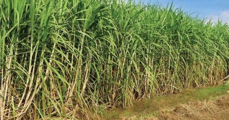 Elevar el ritmo de siembra de caña es tarea priorizada por los agricultores del municipio Quivicán. Foto: Archivo