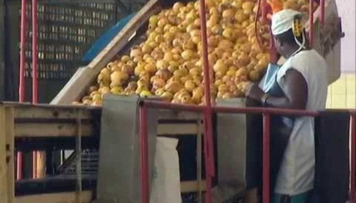 Hoy en la entidad trabajan en la elaboración de mermeladas y compotas de guayaba. Foto: Archivo.