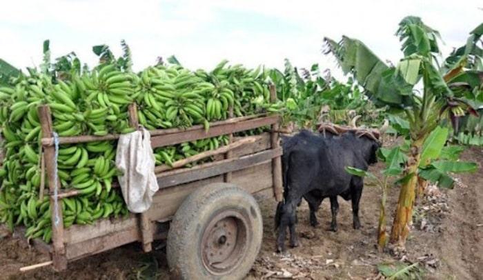 Recolección de plátano a causa de las afectaciones del fenómeno meteorológico Ida. Foto: Cubadebate.