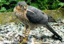 Fomentan en Jaruco la protección de las aves rapaces